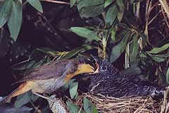 "The robin dutifully feeds the cuckoo fledgling, which will be twice as big as its ""mother"" within ten days after hatching"