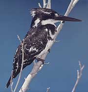 Pied Kingfisher (male)