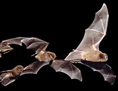 Schreiber's Long-Fingered bats in the guano cave at De Hoop Nature Reserve. Photo: Prof Brock Fenton