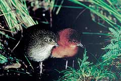 The female Red-chested Flufftail (left) doesn't have the rufuous colouring of the male