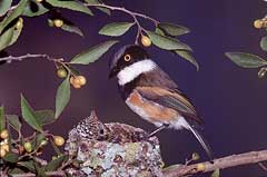 The male Cape Batis eyeing the cuckoo chick in its nest. The chick will nevertheless be raised as the Batis's own