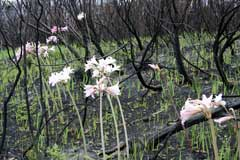 March lilies (Amaryllis belladonna)