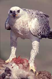 A female Crowned Eagle with her prey, a vervet monkey