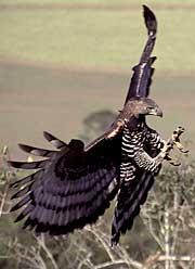 A Crowned Eagle swoops with its deadly talons extended