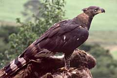 A male Crowned Eagle with its prey on a perch
