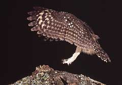 Coming in to land, the owl forms a perfect landing chute with its wings
