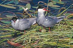 A pair of Whiskered Terns on their floating nest