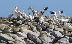 White pelicans, Dassen Island, South Africa
