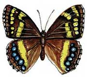 The Table Mountain Beauty butterfly, drawn by Jill Reid