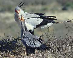 A Secretary Bird squirting water down the gullet of an offspring