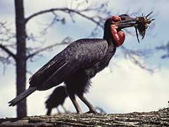 Ground Hornbill with clump of straw for the nest
