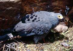 The African Harrier-hawk with its solitary chick on the nest, the adult's face a pale yellow while there are baboons nearby