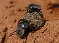 Dung beetles and dung ball. © Geoff Tribe