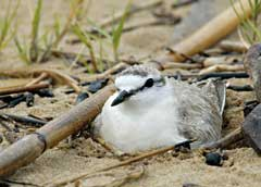 A female White-fronted Plover on her nest. © Ian Thomas