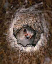 A Pygmy Falcon occupying a Sociable Weaver nest-hole