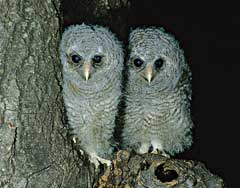 Two Wood-owl chicks waiting for supper in the opening of the nest hole