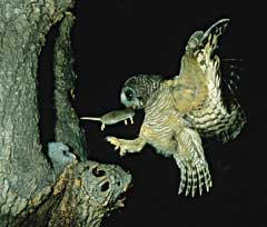 The male African Wood-owl arriving with an African giant shrew