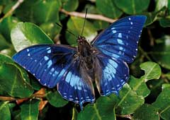 Blue butterfly: A male Western Forest-king Emperor. © Steve Woodhall