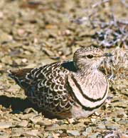 A Double-banded Courser on its nest