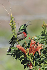 Southern Double-collared Sunbird on Tecoma capensis. © Annalize Mouton