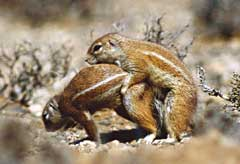 Ground Squirrels enjoying themselves