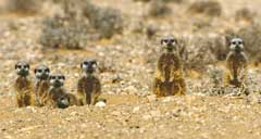 And six Suricates came to watch...