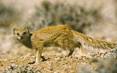 A Yellow Mongoose was second to appear