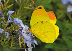 Yellow butterfly on plumbago flower. © Steve Woodhall