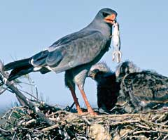 Pale Chanting Goshawk with lizard
