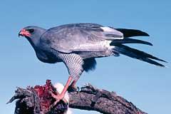 A Pale Chanting Goshawk eating a hare that had been killed on a road