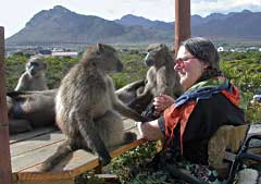 Kate Jagoe-Davies (in wheelchair) with members of the Pringle Bay baboon troop, Western Cape