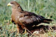 Yellow-billed Kite, Milvus migrans parasitus