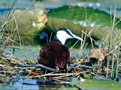Male African Jacana on nest with its long legs and toes spread out sideways
