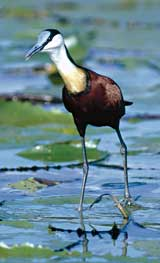 African Jacana walking on lily leaves