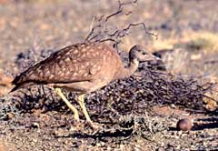 A Karoo Korhaan at its nest with its solitary egg