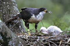 The chick has just eaten a pigeon, and the mother Black Sparrowhawk is removing the only remaining bit, the foot
