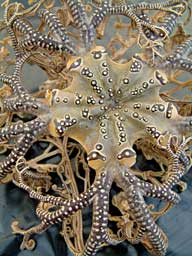 A basketstar, a type of brittlestar. © Annatjie Krügel