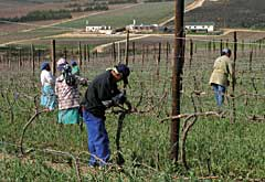 Workers pruning grape vines, Thandi near Grabouw