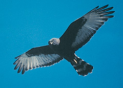 A Black Harrier in flight, with its distinctive banded tail
