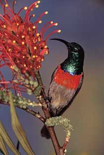 Greater Double-collared Sunbird on flower