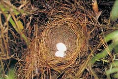 Victorin's Warbler nest with eggs. The deep, open nest is made on or near the ground